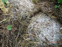 Bild von Feinwurzeln bei Rosenkohl in Kleegras-Mulch