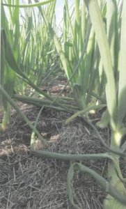 Zwiebeln im Mulch